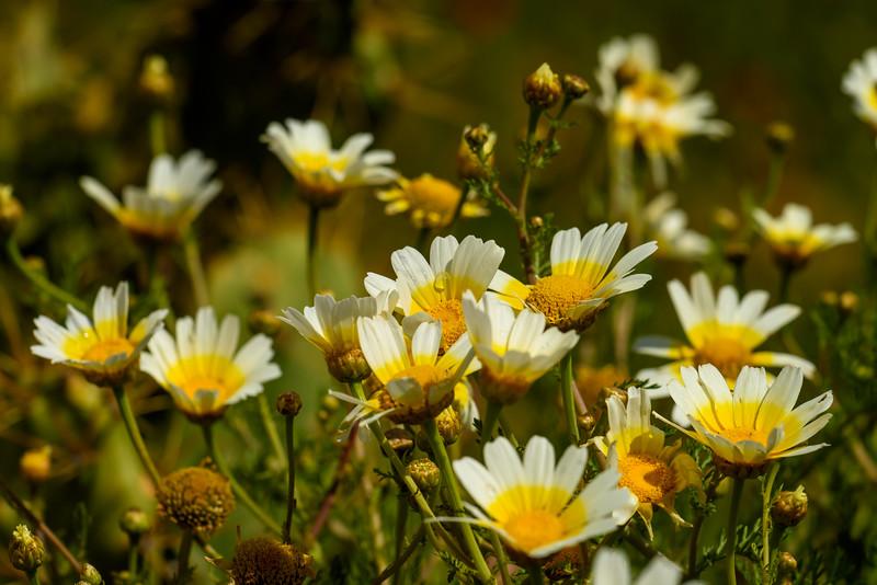 Morning dew on daisies, Cacela Velha