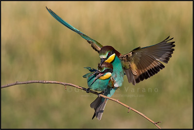 Gruccione - ( European ) Bee Eater ( Merops apiaster )  Giuseppe Varano - Nature and Wildlife Images - Birds and Nature Photography
