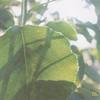 """A Green Leaf"" - Jacquelyn S."