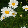 """Spring Daisies"" - Zack M."