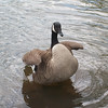 """""""Flapping Goose"""" - Heather S."""