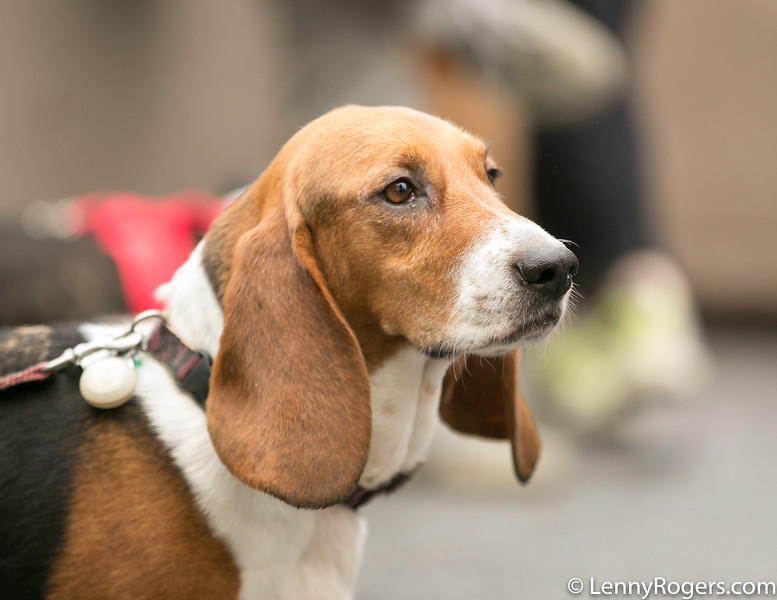 2018 Brews for Bassets-18