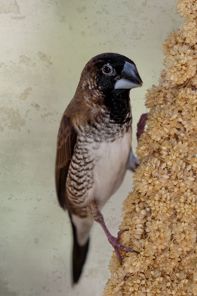bronze mannikin Finch-9054