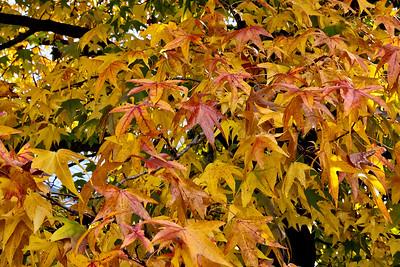 Fall Color - Herndon VA - Oct 2012