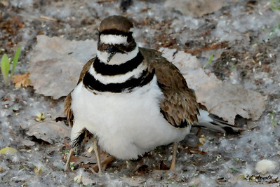 Killdeer hiding her chick