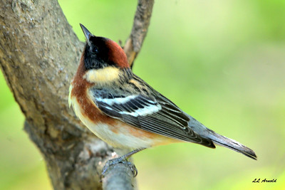 Bay - breasted Warbler