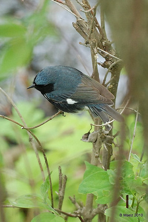 Black-throated Blue Warbler (M)