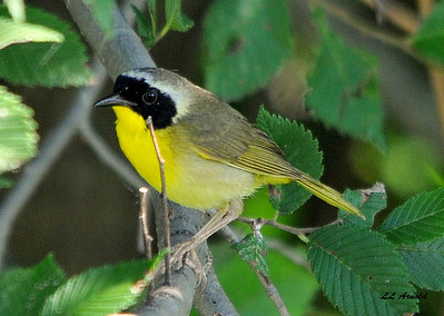 Comman Yellowthroat