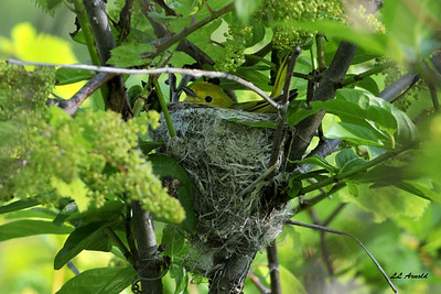 Female Yellow Warbler in it's nest