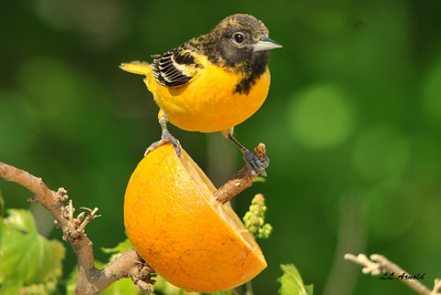 Female  Baltimore Oriole