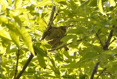 Warblering Warbler nest