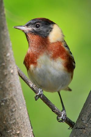 Bay -breasted Warbler
