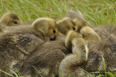 Cold Gosling's