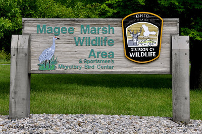 Where we are going, located along Lake Erie east of Port Clinton. Magee Marsh Wildlife Area is comprised of 2,000 acres on the southern shore of Lake Erie, just east of Toledo, Ohio. This part of Lake Erie's shoreline is a series of wetlands  and provides shelter to over 300 species of birds.