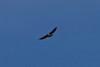 Project 366 - Day 77<br /> Red -Tailed Hawk. I wish it got closer and I was using my 2x while  shooting this. I guess it's not bad for being hand held, next time the monopod.