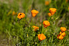 Project 366 - Day 61<br /> Escholzio (Californian poppy) flower with a bee!