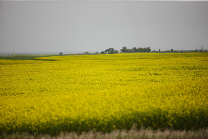 Agriculture Mustard Field