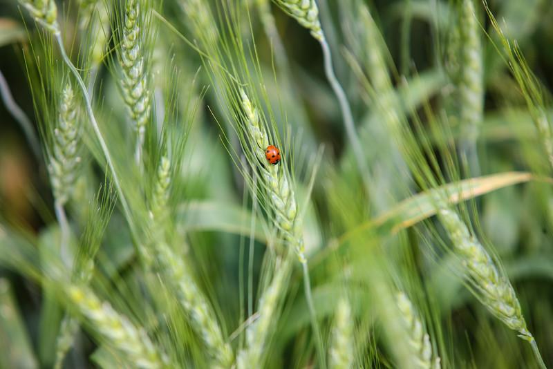 Lady Bug lounging on unripened wheat