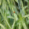 Lady Bug lounging on unripened wheat