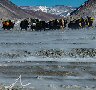 Yaks move through wind across the Tibetan Plateau to Rongbuk Basecamp, Tibet.
