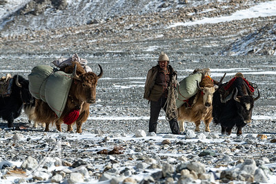A yak herder arrives with his yaks to Rongbuk Basecamp on Mount Everest, Tibet.