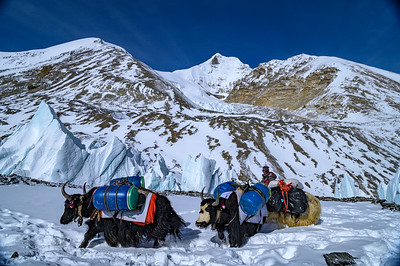 Yaks carry equipment up the East Rongbuk Glacier to Advanced Basecamp on Mount Everest, Tibet. Jianbing Ri (left) and Chang Zheng Peak (right) rise behind.