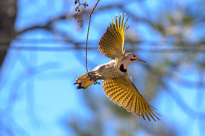 Northern Flicker - Montgomery, TX