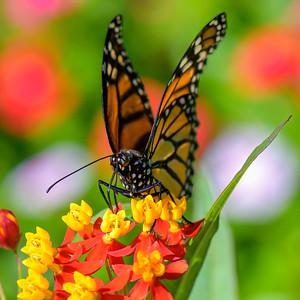 Monarch and Milkweeds
