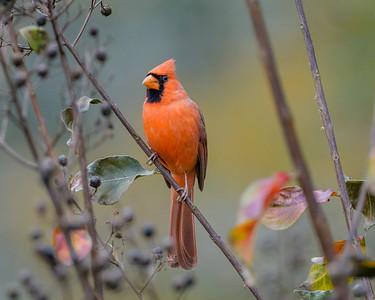 Male Cardinal - Montgomery TX