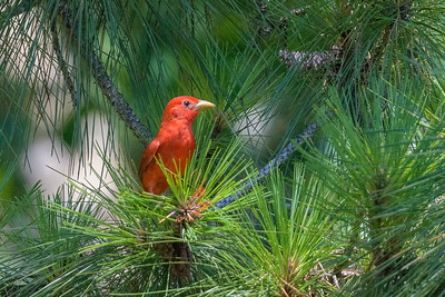 Summer Tanager - Montgomery TX