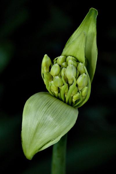 iris bud grn 0024