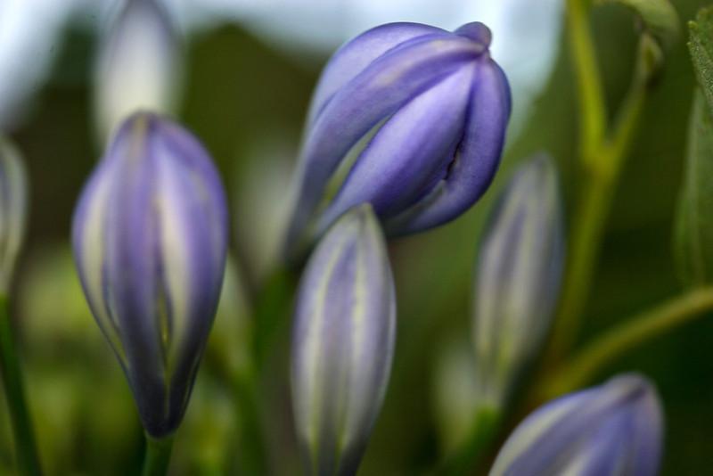 iris 0035