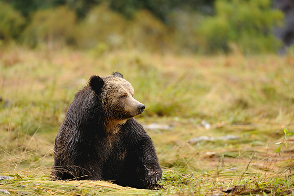 Grizzly Musings - Grizzly having a break in the Great Bear Rainforest, British Columbia, Canada.