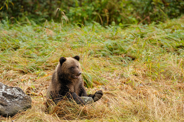 Cheeky - This cheeky young grizzly cub eventually did not mind having us around. The Great Bear Rainforest is very remote on the northern coast of British Columbia and he would have had very limited exposure to humans.