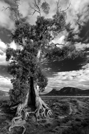 Cazneaux's Tree - Wilpena Pound, South Australia. A famous gum tree photographed a long time ago by Harold Cazneaux.