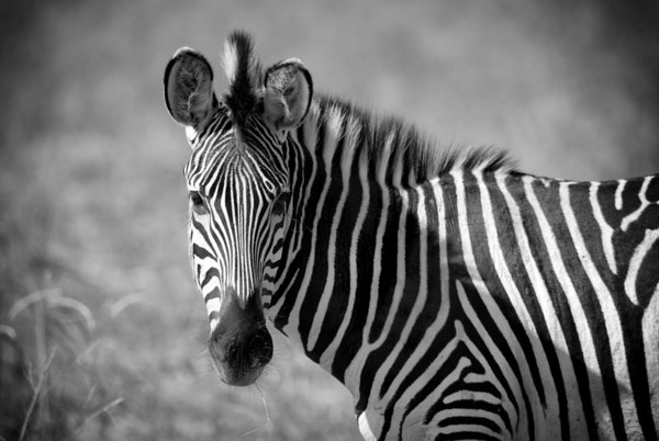 What's Up? - Curious zebra, South Luangwa NP, Zambia