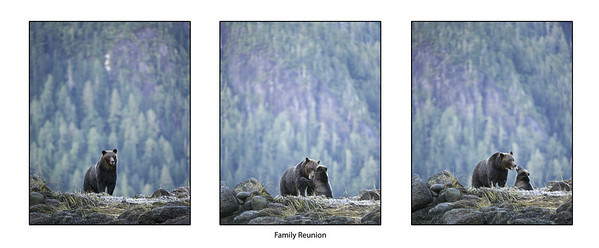 Family Reunion - Great Bear Rainforest, British Columbia, Canada. The mother grizzly waits for her cub to catch up. It had gotten delayed by fish on the shore. They have a warm embrace when they get back together.