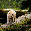 Spirit Bear Trapeze - Great Bear Rainforest, British Columbia, Canada. The Spirit Bear, formerly known as the Kermode Bear (Ursus americanus kermodei) is actually a subspecies of the American Black Bear. A recessive allele that is common in the local population is the cause of this colour variation. They are not albinos or not even related to the polar bear.