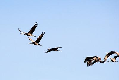 Sandhill Cranes, Southeast Nebraska