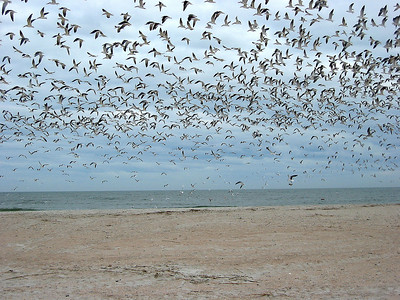Flock of Birds in Florida