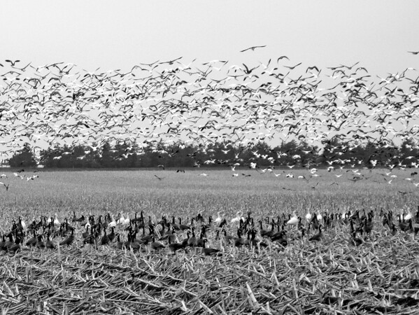 Canadian Geese in Southeast Nebraska
