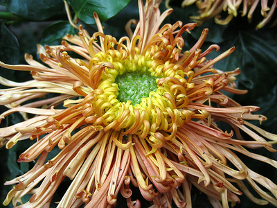 Brown Spider Mum