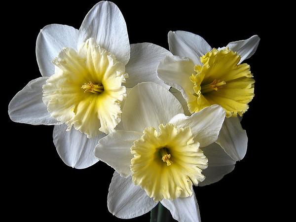 Jonquil Bouquet