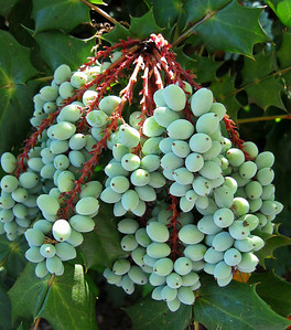 Oregon Grapes