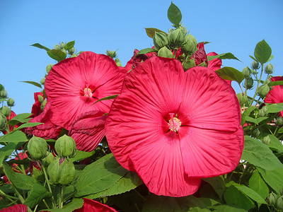 Red Saucer Hibiscus