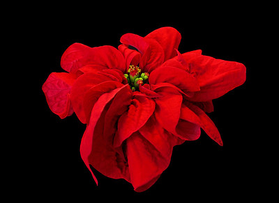 Red Rose Poinsettia