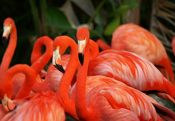 Flamingos, Miami Metro Zoo, Miami Florida