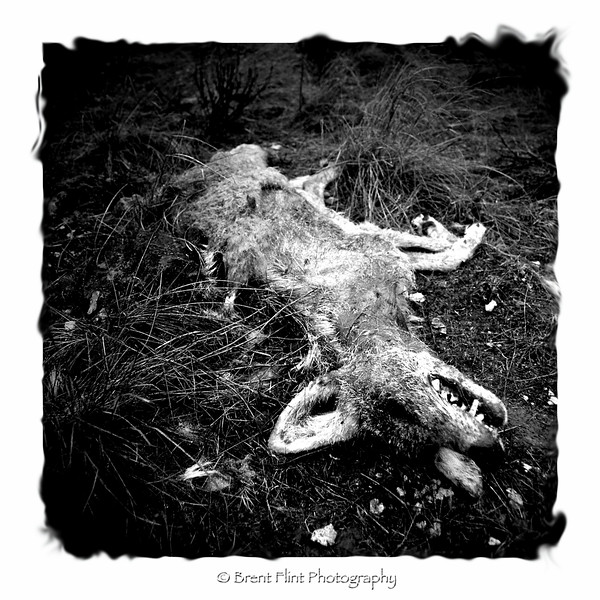 "DF.414 - ""Reclamation"", dead coyote, Northrup Canyon, Steamboat Rock State Park, WA."