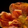Tulip / Tulipe
