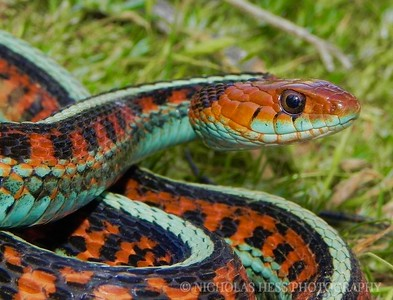 California Red-Sided Gartersnake, Thamnophis sirtalis infernalis